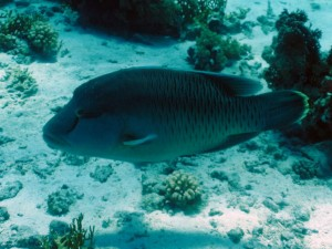 Humphead Napolean wrasse can frequently be seen at Shark & Yolanda