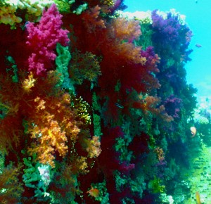 Colorful soft corals decorate the wreck of the Yolanda